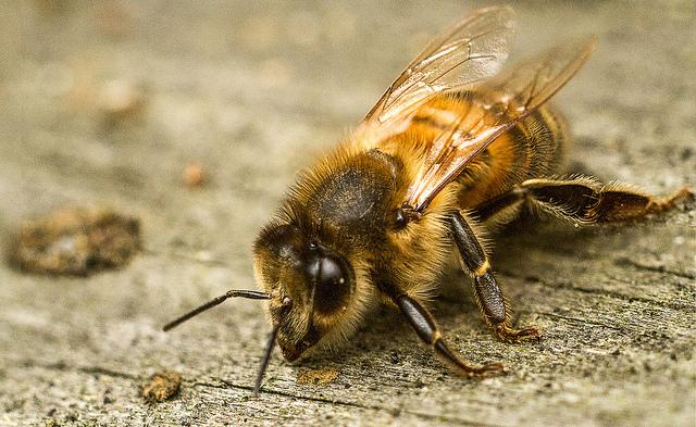 La vie d'une abeille de ruche