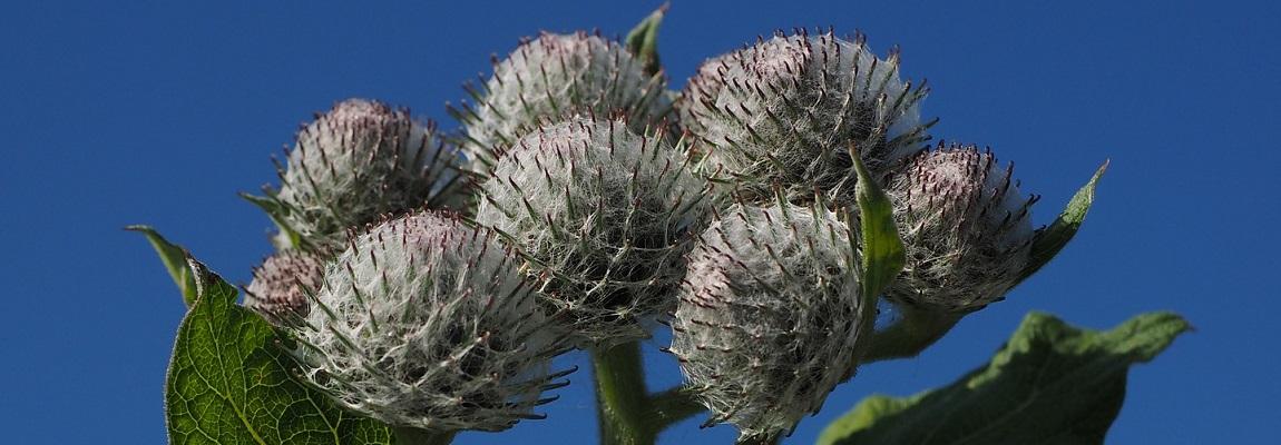 La bardane, plante mellifère sauvage