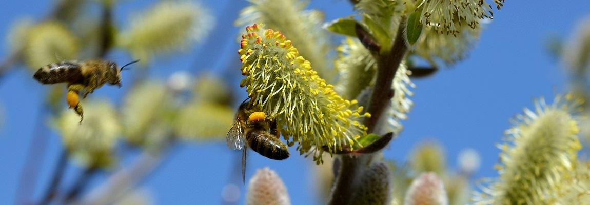 Les phéromones : la communication chez les abeilles