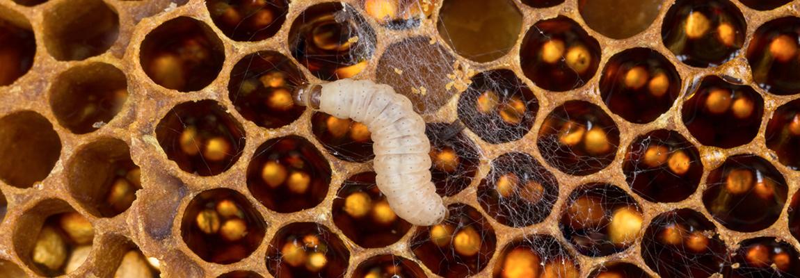 La fausse teigne s'installe dans votre ruche, que faire ?