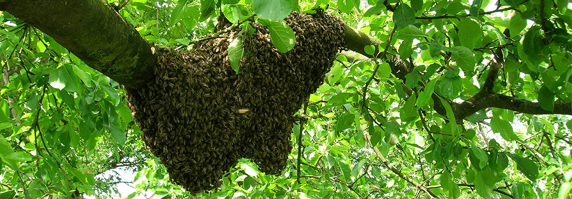 Éviter l'essaimage: comment garder le contrôle de ses colonies
