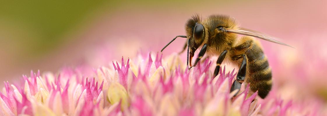 Semer des fleurs et plantes mellifères pour les abeilles