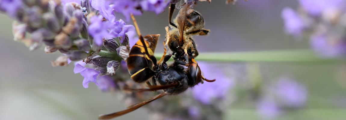 Frelon asiatique : comment protéger les abeilles