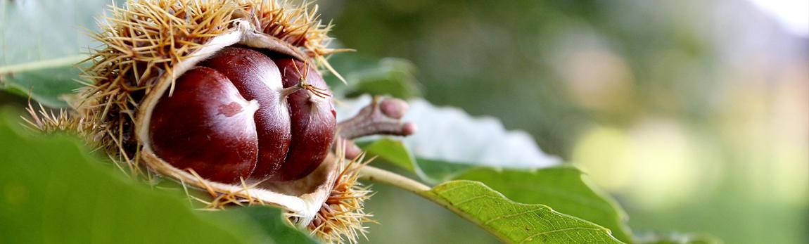 Le châtaignier, un arbre mellifère idéal pour les abeilles