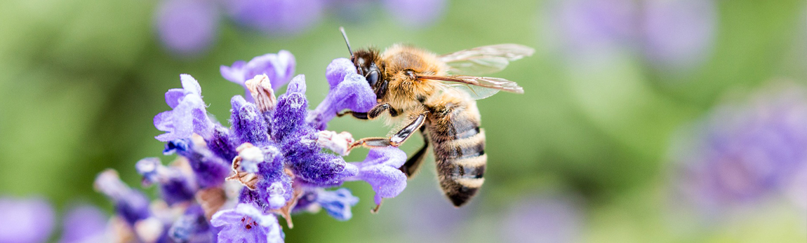 Que se passe-t-il dans la ruche au mois de Juin ?