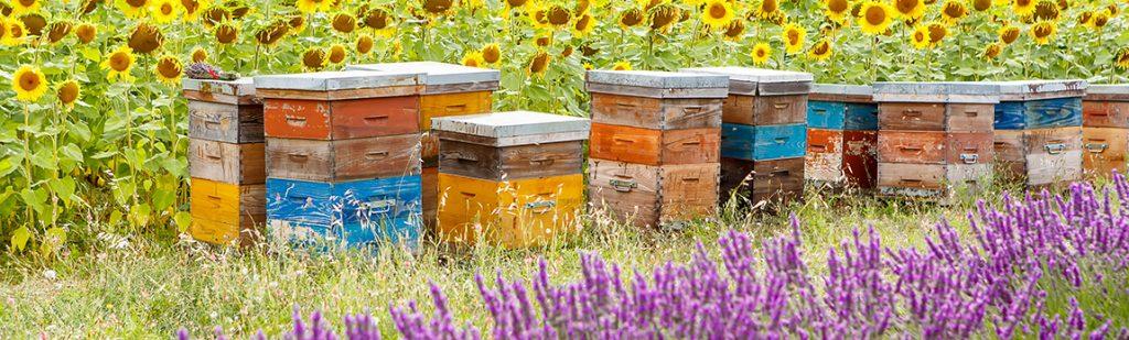 Que se passe-t-il dans la ruche au mois de juillet ?