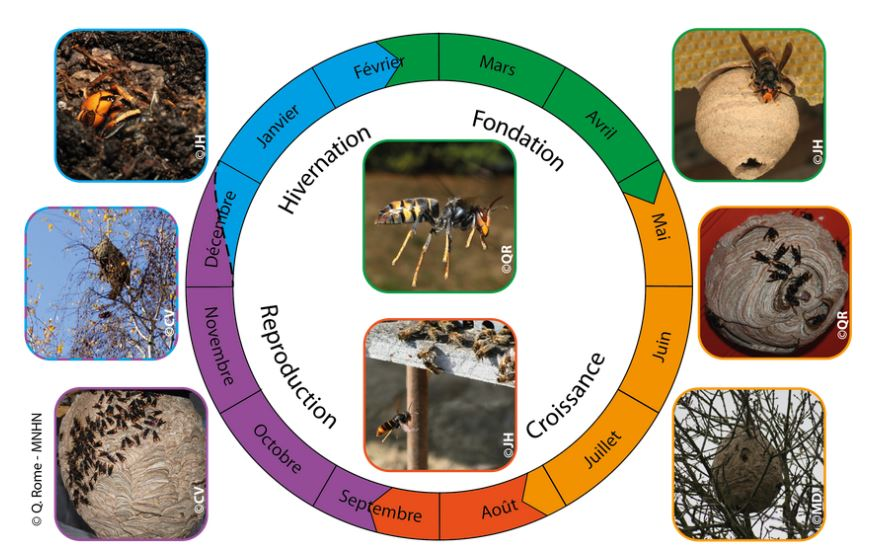 cyle de vie du frelon asiatique