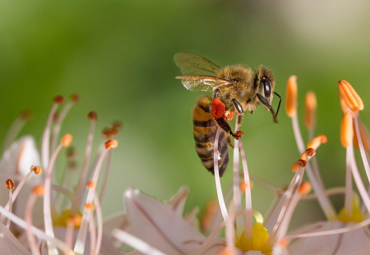 printemps abeille