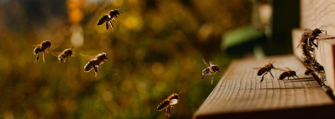 Que se passe-t-il dans la ruche au mois de septembre ?
