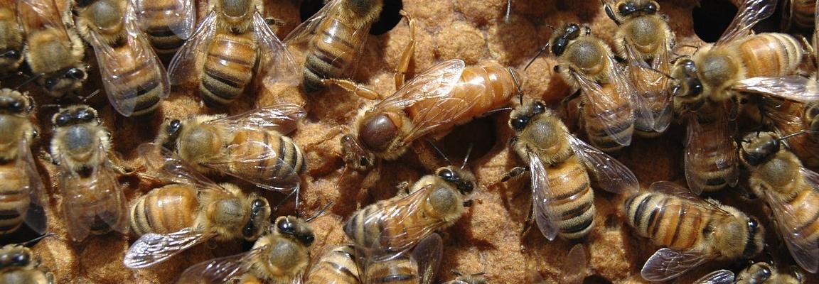 remérage abeille